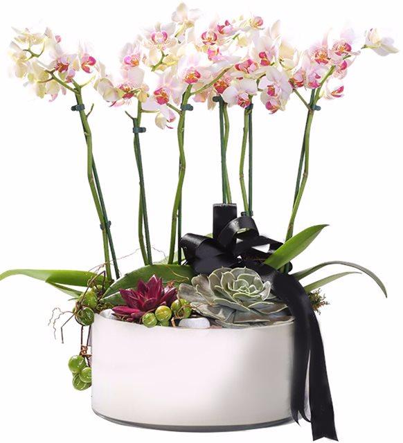 Dekoratif Saksıda İthal Orkide Tanzimi